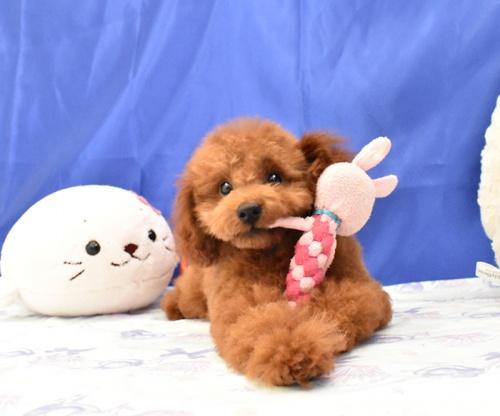 トイプードルの子犬(ID:1268311049)の1枚目の写真/更新日:2018-07-29
