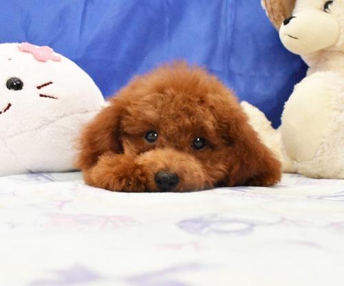 トイプードルの子犬(ID:1268311049)の2枚目の写真/更新日:2018-07-29