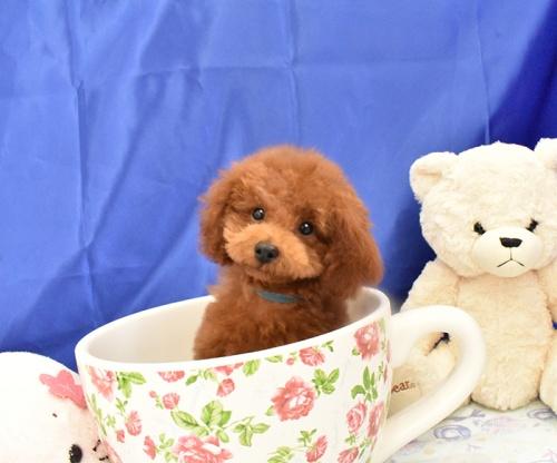 トイプードルの子犬(ID:1268311049)の3枚目の写真/更新日:2018-07-29