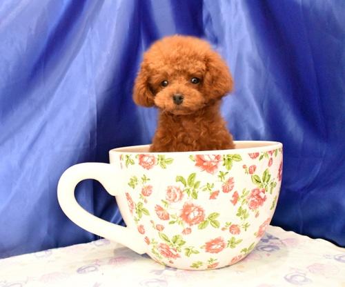 トイプードルの子犬(ID:1268311051)の1枚目の写真/更新日:2018-08-30