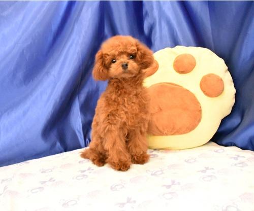 トイプードルの子犬(ID:1268311051)の3枚目の写真/更新日:2018-08-30