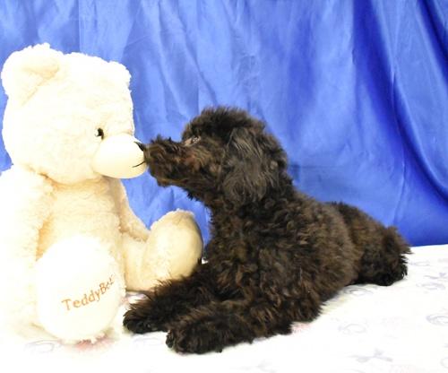 トイプードルの子犬(ID:1268311056)の3枚目の写真/更新日:2018-09-24