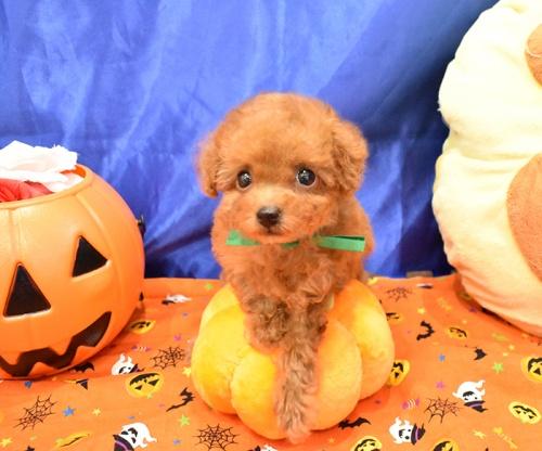 トイプードルの子犬(ID:1268311061)の1枚目の写真/更新日:2018-10-17