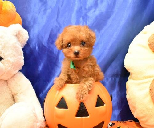 トイプードルの子犬(ID:1268311061)の2枚目の写真/更新日:2018-10-17