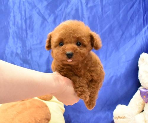トイプードルの子犬(ID:1268311063)の1枚目の写真/更新日:2018-11-14
