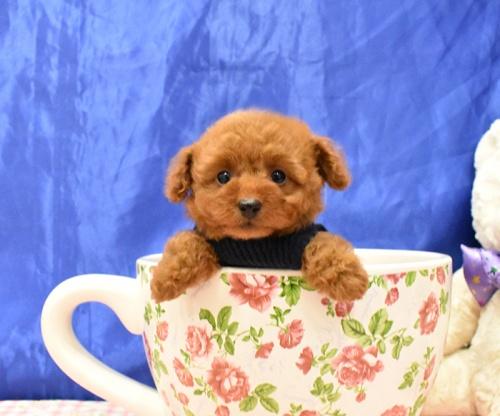 トイプードルの子犬(ID:1268311063)の2枚目の写真/更新日:2018-11-14