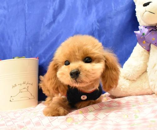 トイプードルの子犬(ID:1268311065)の1枚目の写真/更新日:2018-11-14