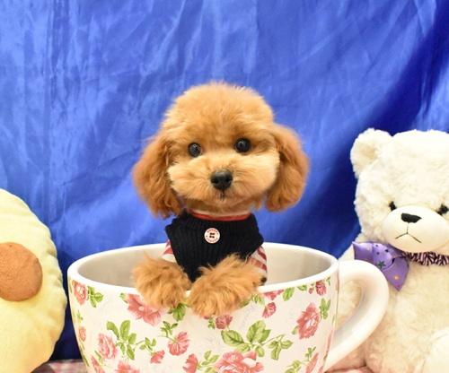 トイプードルの子犬(ID:1268311065)の2枚目の写真/更新日:2018-11-14