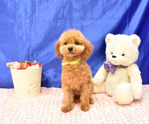 トイプードルの子犬(ID:1268311065)の3枚目の写真/更新日:2018-11-14
