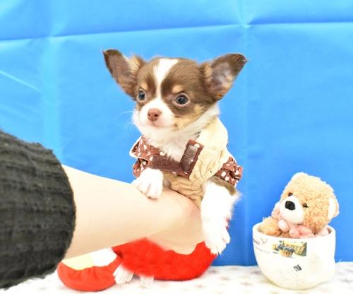 チワワ(ロング)の子犬(ID:1268311066)の1枚目の写真/更新日:2018-11-14