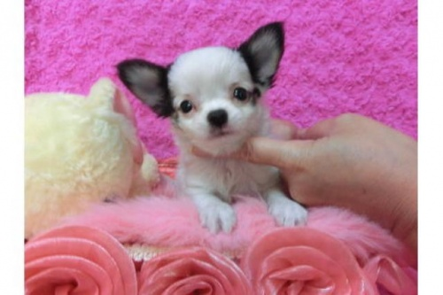 チワワ(ロング)の子犬(ID:1268411001)の1枚目の写真/更新日:2017-03-25