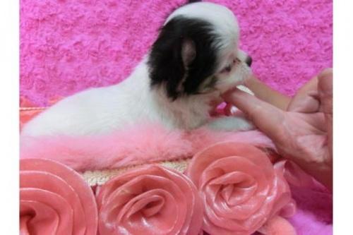 チワワ(ロング)の子犬(ID:1268411001)の3枚目の写真/更新日:2017-03-25