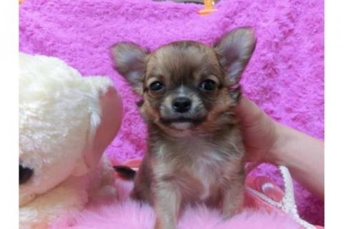 チワワ(ロング)の子犬(ID:1268411002)の1枚目の写真/更新日:2018-07-31