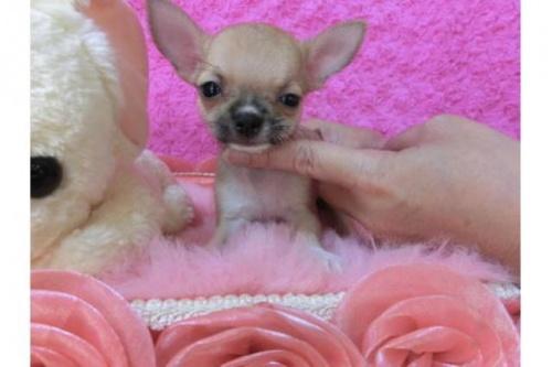 チワワ(スムース)の子犬(ID:1268411003)の1枚目の写真/更新日:2018-07-31