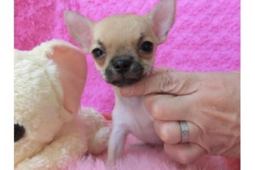 チワワ(ロング)の子犬(ID:1268411004)の1枚目の写真/更新日:2017-03-25