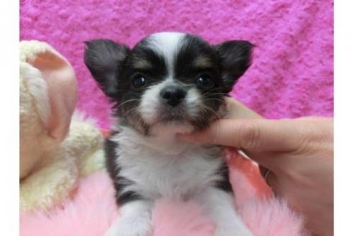 チワワ(ロング)の子犬(ID:1268411005)の1枚目の写真/更新日:2018-06-12