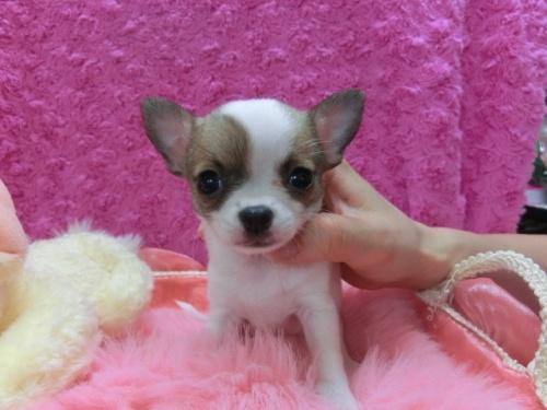 チワワ(スムース)の子犬(ID:1268411006)の1枚目の写真/更新日:2017-03-25