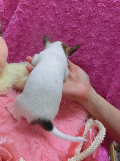 チワワ(スムース)の子犬(ID:1268411006)の3枚目の写真/更新日:2017-03-25