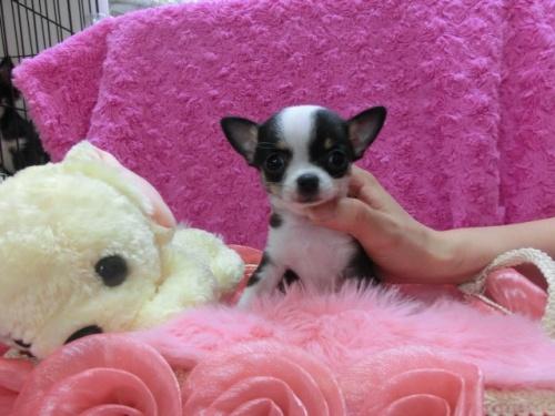 チワワ(スムース)の子犬(ID:1268411007)の1枚目の写真/更新日:2017-03-25