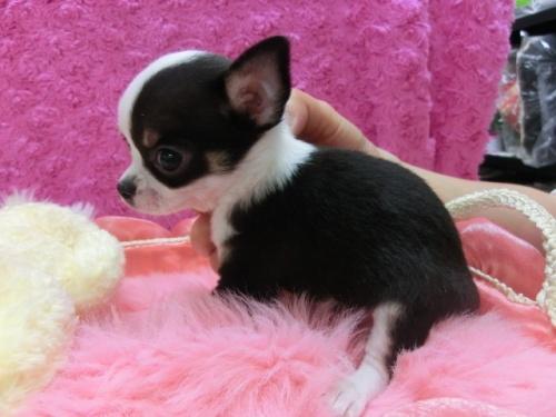チワワ(スムース)の子犬(ID:1268411007)の3枚目の写真/更新日:2017-03-25