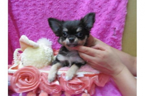 チワワ(ロング)の子犬(ID:1268411008)の1枚目の写真/更新日:2017-03-25