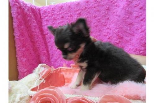チワワ(ロング)の子犬(ID:1268411008)の2枚目の写真/更新日:2019-11-04