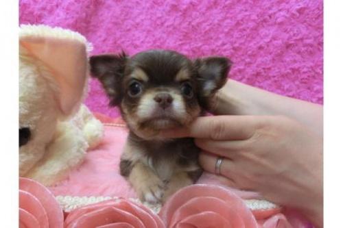 チワワ(ロング)の子犬(ID:1268411009)の1枚目の写真/更新日:2018-06-12
