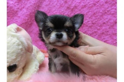 チワワ(ロング)の子犬(ID:1268411010)の1枚目の写真/更新日:2018-06-12