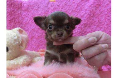 チワワ(スムース)の子犬(ID:1268411011)の1枚目の写真/更新日:2017-03-25