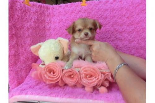 チワワ(ロング)の子犬(ID:1268411012)の1枚目の写真/更新日:2018-07-31