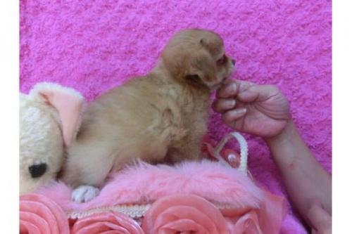 チワワ(ロング)の子犬(ID:1268411012)の2枚目の写真/更新日:2018-07-31