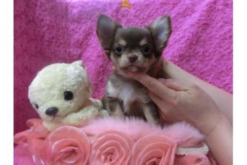 チワワ(ロング)の子犬(ID:1268411013)の1枚目の写真/更新日:2017-03-25