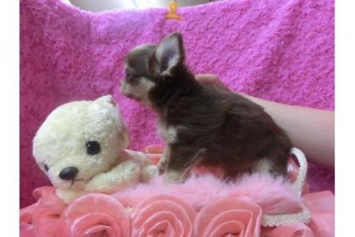チワワ(ロング)の子犬(ID:1268411013)の2枚目の写真/更新日:2018-06-12