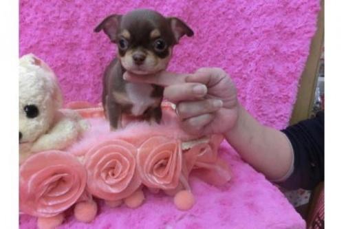チワワ(スムース)の子犬(ID:1268411014)の1枚目の写真/更新日:2018-06-12
