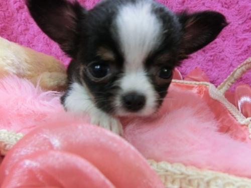チワワ(ロング)の子犬(ID:1268411015)の1枚目の写真/更新日:2017-03-25