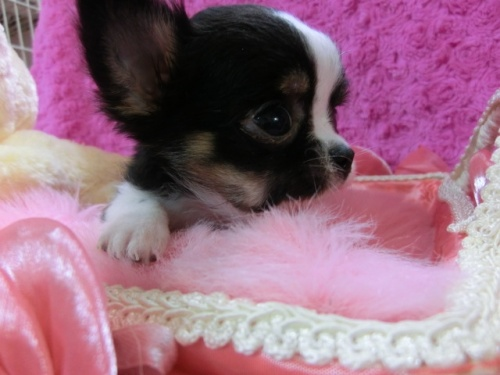 チワワ(ロング)の子犬(ID:1268411015)の2枚目の写真/更新日:2017-03-25