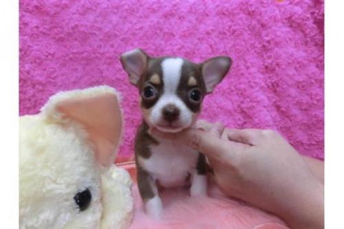 チワワ(スムース)の子犬(ID:1268411016)の1枚目の写真/更新日:2018-07-11