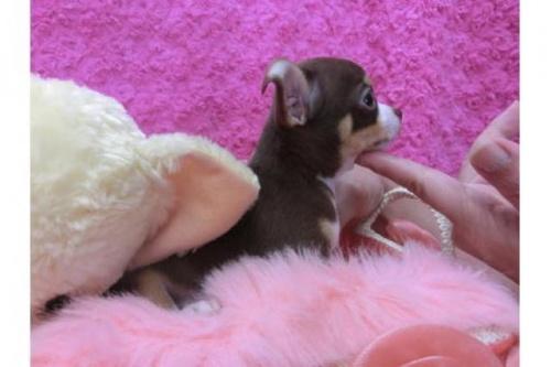 チワワ(スムース)の子犬(ID:1268411016)の2枚目の写真/更新日:2018-07-11