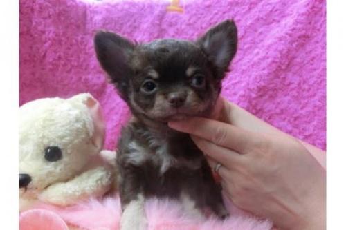 チワワ(ロング)の子犬(ID:1268411017)の1枚目の写真/更新日:2018-06-12