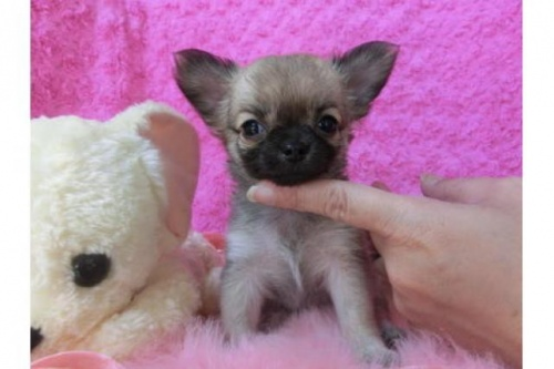 チワワ(ロング)の子犬(ID:1268411018)の1枚目の写真/更新日:2017-04-10