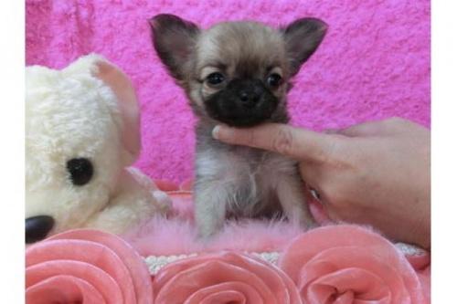 チワワ(ロング)の子犬(ID:1268411019)の1枚目の写真/更新日:2017-04-10