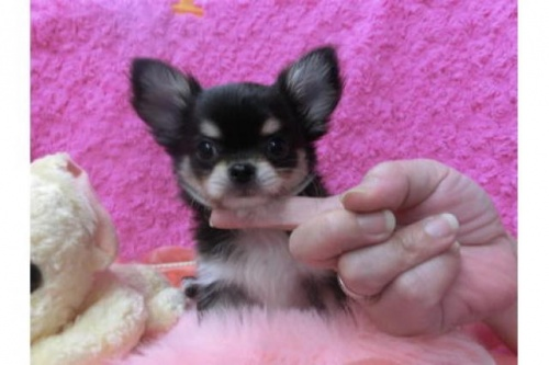 チワワ(スムース)の子犬(ID:1268411020)の1枚目の写真/更新日:2017-04-14