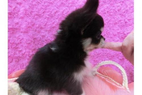 チワワ(ロング)の子犬(ID:1268411020)の2枚目の写真/更新日:2018-06-12