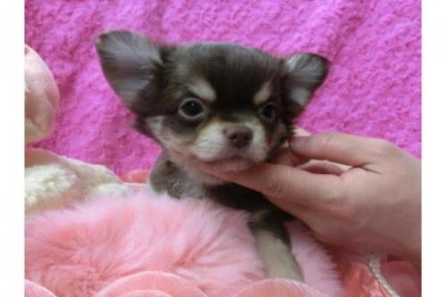 チワワ(ロング)の子犬(ID:1268411021)の1枚目の写真/更新日:2017-04-24
