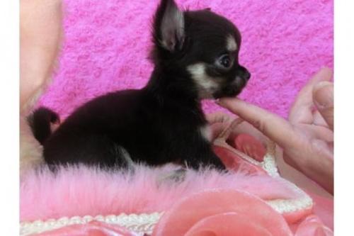チワワ(ロング)の子犬(ID:1268411022)の2枚目の写真/更新日:2018-07-31