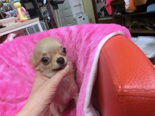 チワワ(ロング)の子犬(ID:1268411023)の1枚目の写真/更新日:2018-07-31