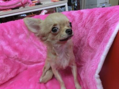 チワワ(ロング)の子犬(ID:1268411023)の2枚目の写真/更新日:2017-04-24