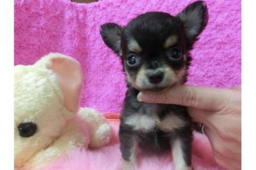 チワワ(ロング)の子犬(ID:1268411024)の1枚目の写真/更新日:2017-04-24