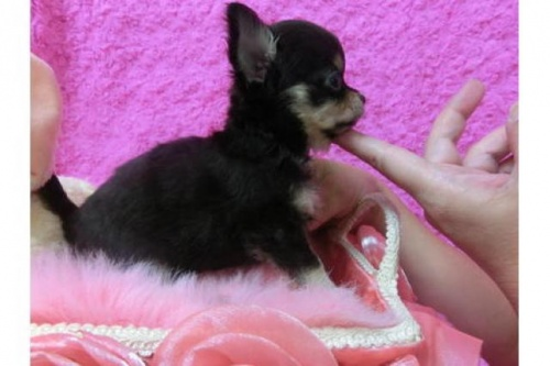 チワワ(ロング)の子犬(ID:1268411024)の2枚目の写真/更新日:2017-04-24
