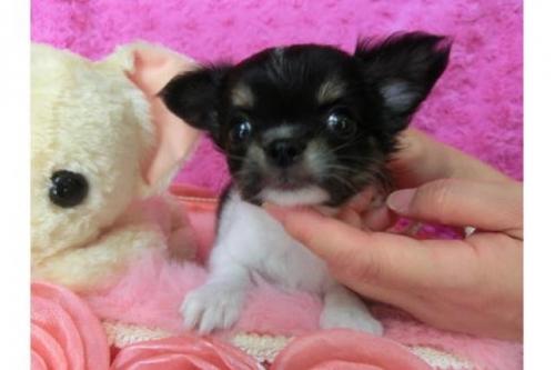 チワワ(ロング)の子犬(ID:1268411025)の1枚目の写真/更新日:2018-07-31